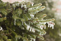 Picturesque fir branch covered with freezing rain Royalty Free Stock Image