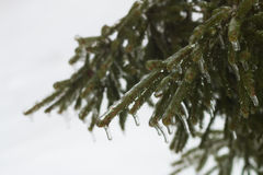 Picturesque fir branch covered with freezing rain Stock Photography