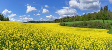 Picturesque flowering rapeseed field. In a slightly hilly landscape with bushes and trees royalty free stock photo