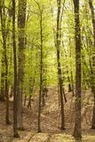 Picturesque forest. Scenic view of tall trees in picturesque Spring forest Stock Photography