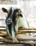 A picturesque goat with a huge beard looks over a fence of wooden rods. Nigerian dwarf goat. A picturesque goat with a huge beard looks over a fence of wooden royalty free stock photo