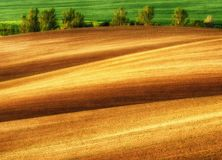 Hilly field. ranks of agricultural crops on the field Stock Photography