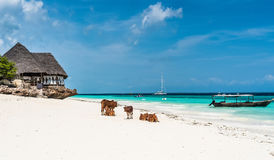 Picturesque landscape with cows and house on the beach, Zanzibar. Picturesque landscape with cows and house on the beach and a boat in water with blue sky on the stock photo
