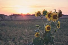 Lonely bouquet of sunflowers in a field at sunset. stock photo