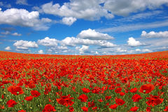 Picturesque  landscape with poppies plantation Stock Images