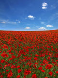 Picturesque  landscape with poppies plantation Royalty Free Stock Photography