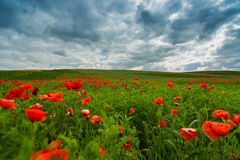 The picturesque landscape with poppy flowers against the blue cloudy sky Royalty Free Stock Photography