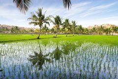 Picturesque landscape with rice plantation.  India Royalty Free Stock Photo