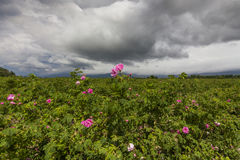 The picturesque landscape with rose field under a cloudy sky. Royalty Free Stock Images