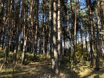 Landscape on a Sunny autumn day: glade and pines on a hilly terrain stock image