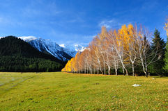 Picturesque landscape yellow birches Stock Image