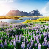 The picturesque landscapes of forests and mountains of Iceland. Wild blue lupine blooming. In in summer Stock Photos