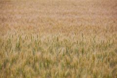 Picturesque mature, golden-brown field, yellow wheat at sunset. Grain harvest in summer Stock Photo