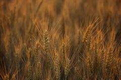 Picturesque mature, golden-brown field, yellow wheat at sunset. Grain harvest in summer Stock Images