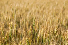 Picturesque mature, golden-brown field, yellow wheat at sunset. Grain harvest in summer Royalty Free Stock Photo