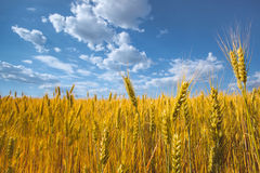 Picturesque mature, golden-brown field, yellow wheat at sunset. Grain harvest in summer Royalty Free Stock Photography