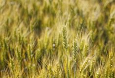 Picturesque mature, golden-brown field, yellow wheat at sunset. Grain harvest in summer Royalty Free Stock Photos