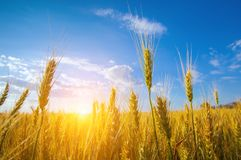 Picturesque mature, golden-brown field, yellow wheat at sunset. Grain harvest in summer Stock Photography