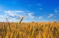 Picturesque mature, golden-brown field, yellow wheat at sunset. Grain harvest in summer Stock Image