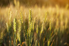Picturesque mature, golden-brown field, yellow wheat at sunset. Grain harvest in summer Royalty Free Stock Image