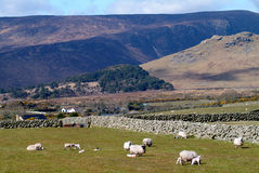 Picturesque Mournes. Sheep and lambs grazing in field under the Mourne Mountains Northern ireland Stock Photos