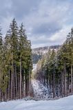 Picturesque nature in the Carpathian mountains in winter. Coniferous forest royalty free stock photos