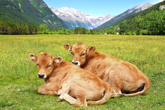 Picturesque nature landscape with calves. Royalty Free Stock Photo