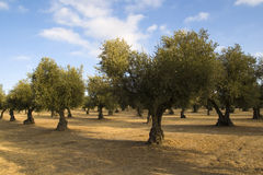 Picturesque olive grove Stock Images