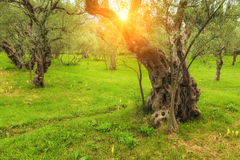 Picturesque olive grove in the sun. Stock Image