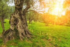 Picturesque olive grove in the  sun. Royalty Free Stock Images