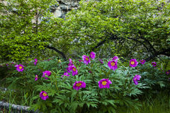 Picturesque park with wild peonies Royalty Free Stock Photos