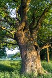 Fragment of the trunk of a relic oak tree near Biserovo village, Russia. Picturesque peaceful corner of nature away from the urban noise and hustle. Cheerful stock images