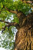 Fragment of the trunk of a relic oak tree near Biserovo village, Russia. Picturesque peaceful corner of nature away from the urban noise and hustle. Cheerful stock image