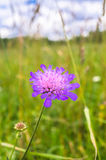 Amazing bright flower on a summer meadow, Tver region, Russia. Picturesque peaceful corner of nature away from the urban noise and hustle. Cheerful rich colors Royalty Free Stock Photo