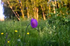 Amazing bright flower on a summer meadow, Tver region, Russia. Picturesque peaceful corner of nature away from the urban noise and hustle. Cheerful rich colors stock image