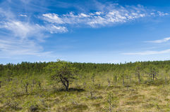 Picturesque pine tree at marshland with scenic blue sky Stock Photography