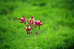 Picturesque Pink Aquilegia flowers. With green lawn in the background Royalty Free Stock Images