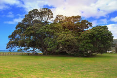 Picturesque Pohutukawa tree Stock Images