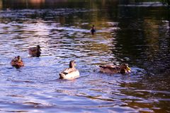 A picturesque pond in the summer Park. A flock of ducks feed on bread royalty free stock photos