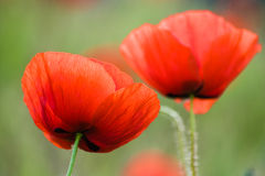 Picturesque poppies Royalty Free Stock Photo