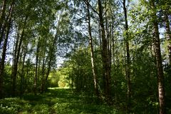 A picturesque road through a birch grove the sun breaks through the leaves and illuminates the forest world. The sun`s rays, penetrating in some places the stock images