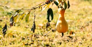 Ripe autumn pumpkin in a rustic vegetable garden. Sunny autumn evening in the village stock images