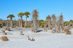 Picturesque Scene Along Florida`s First Coast. Palm trees along the beach at Little Talbot Island State Park near Jacksonville, Florida stock images
