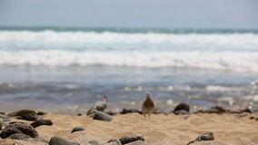 Picturesque sea landscape. Tenerife. Ocean. Sea waves. Beach. Pigeons are on the coast stock video
