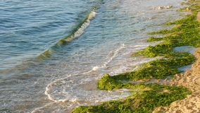 Picturesque seashore with green algae on it and waves with the foam