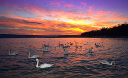 Awesome sunset and sea swans view Stock Photo