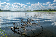Picturesque snag in the water near the shore of the lake Royalty Free Stock Photo
