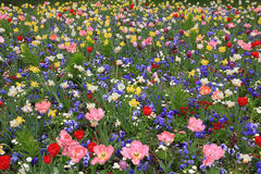 Picturesque springlike flowerbed full bloom Stock Image