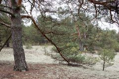 Picturesque strange place covered with lichen in pine forest of Volyn. Spruce branch in the foreground. Springtime nature in Europ. E royalty free stock photography