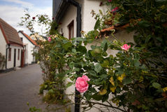 Picturesque street with rose bush. Rose bush in the picturesque town of Visby, on the island of Gotland, Sweden royalty free stock images